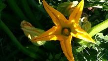 flor-de-calabacin